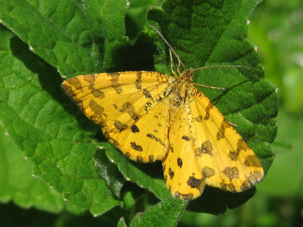Speckled Yellow Pseudopanthera Macularia Norfolk Moths