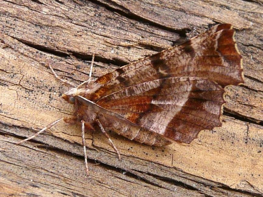 Early Thorn (Selenia Dentaria)