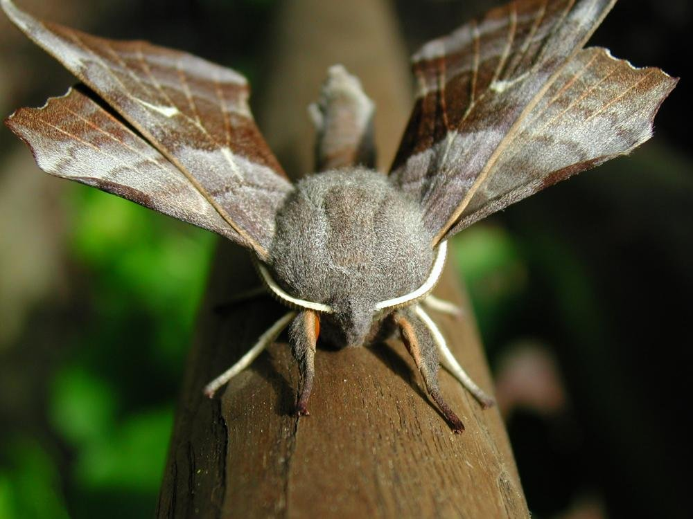 Poplar Hawk Moth Laothoe Populi Norfolk Moths The