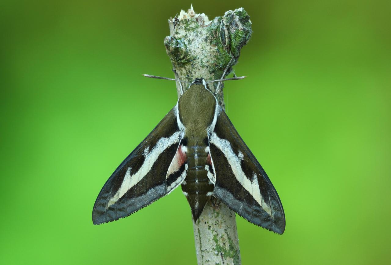 Bedstraw Hawk Moth Hyles Gallii Norfolk Moths The