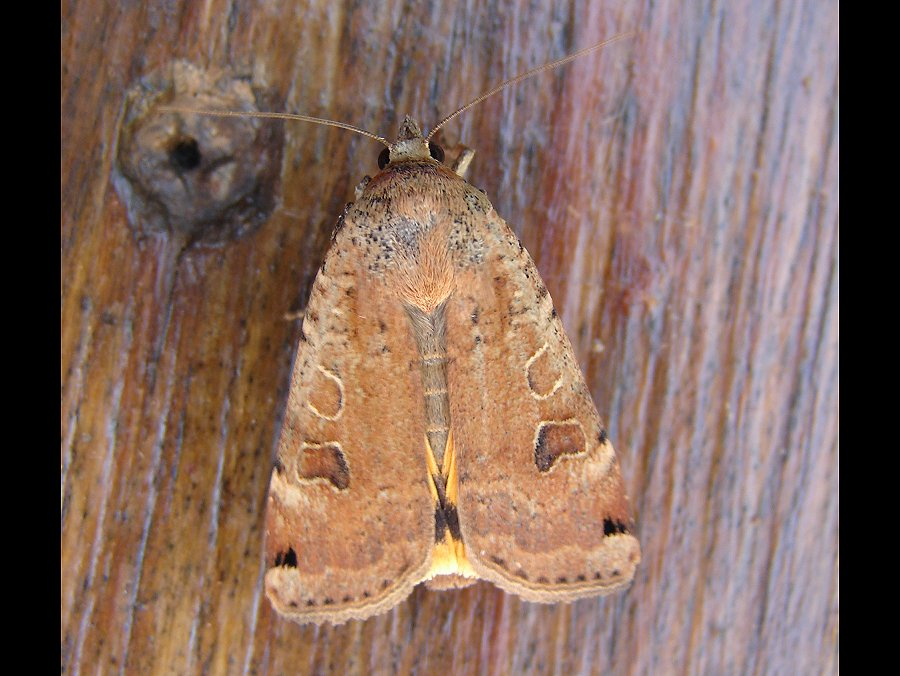 Large Yellow Underwing (Noctua pronuba) - Norfolk Moths - The ...