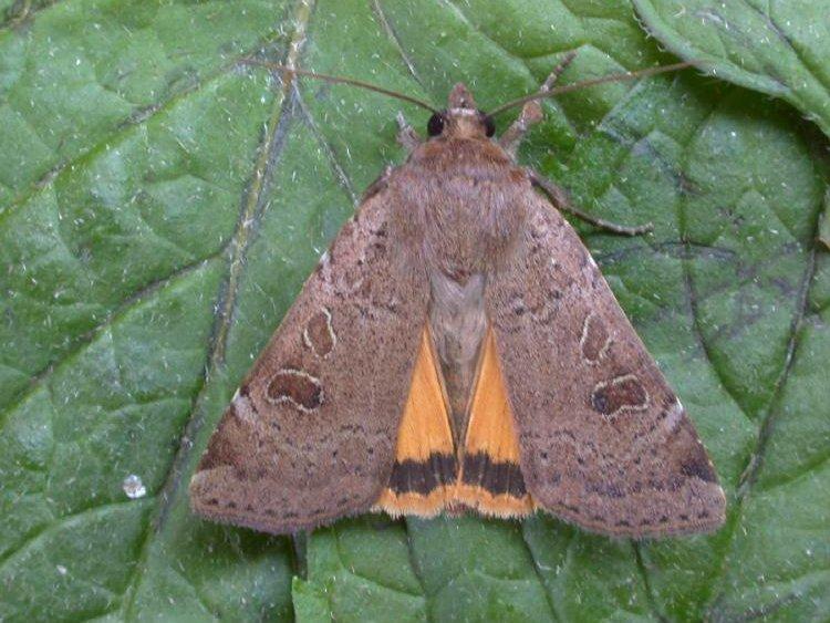 Lesser Yellow Underwing Noctua Comes Norfolk Moths
