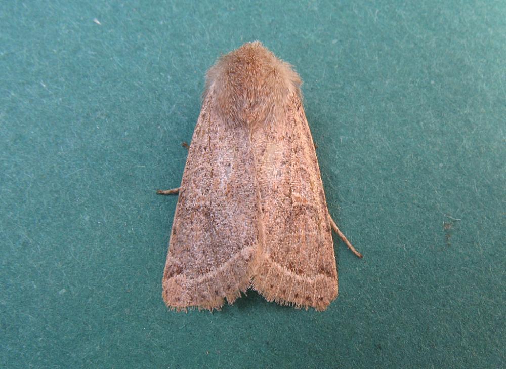 Common Quaker Orthosia Cerasi Norfolk Moths The