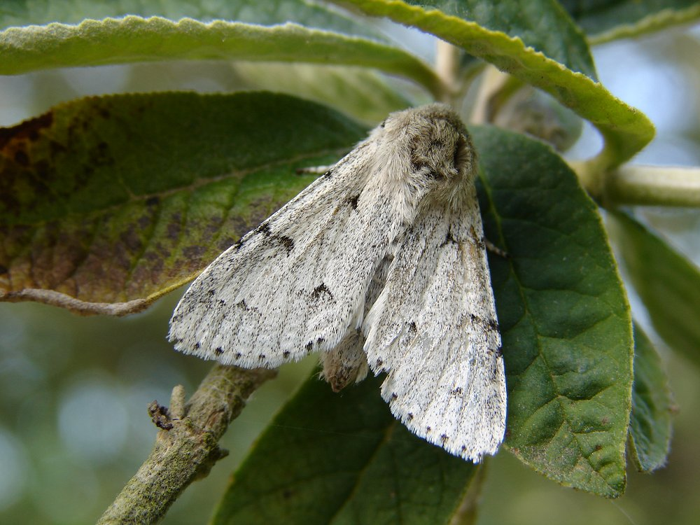 Miller Acronicta Leporina Norfolk Moths The Macro
