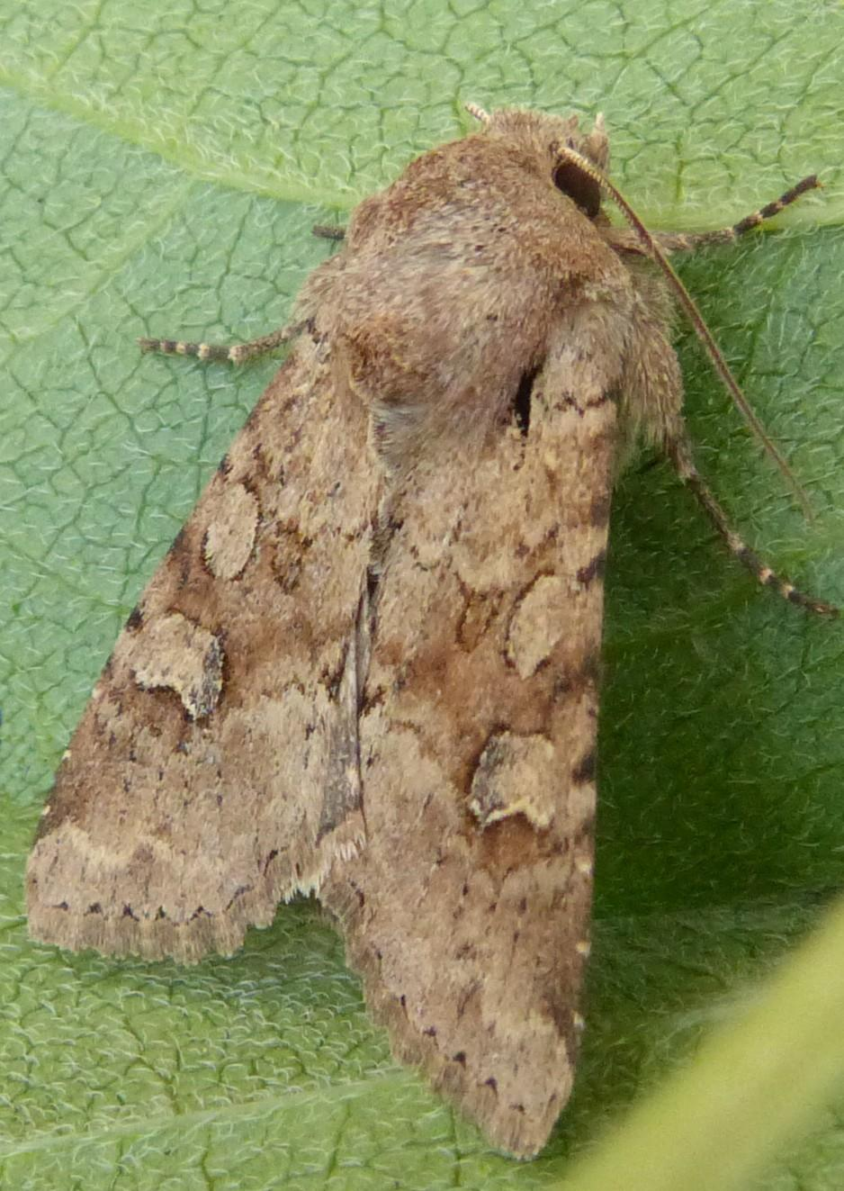 Rustic Shoulder Knot Apamea Sordens Norfolk Moths