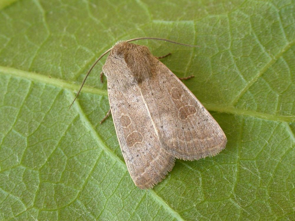 Vine S Rustic Hoplodrina Ambigua Norfolk Moths The